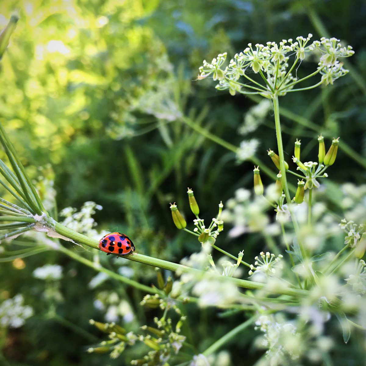 A ladybug walking along a narrow bridge of Queen Anne's lace