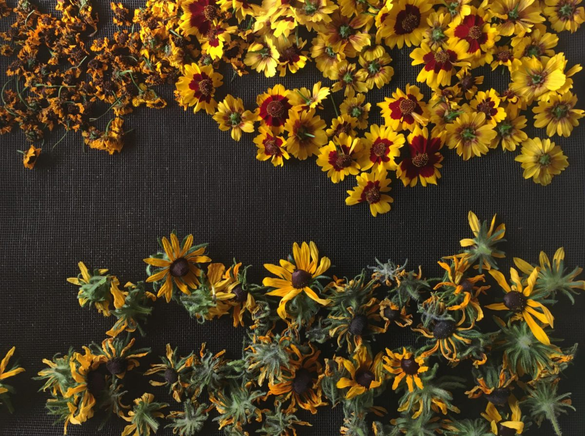 Coreopsis and rudbeckia flowers on the drying rack