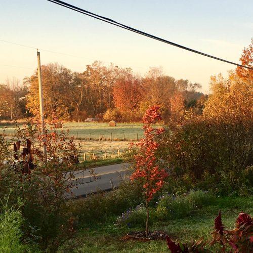 Columnar oak in bright red, hay bales in distant field