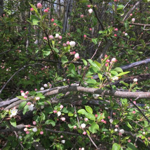 Apple blossoms and deadwood in the woods