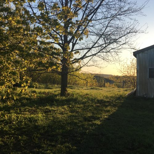 Light shining on new tree leaves from behind an old barn