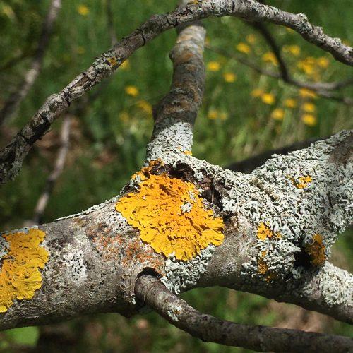 Orange and pale grey lichens on a log