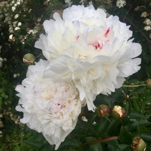 Large white peonies