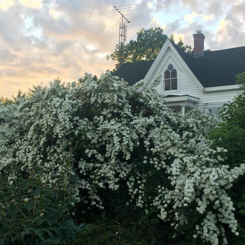 White sprays of spirea in flower