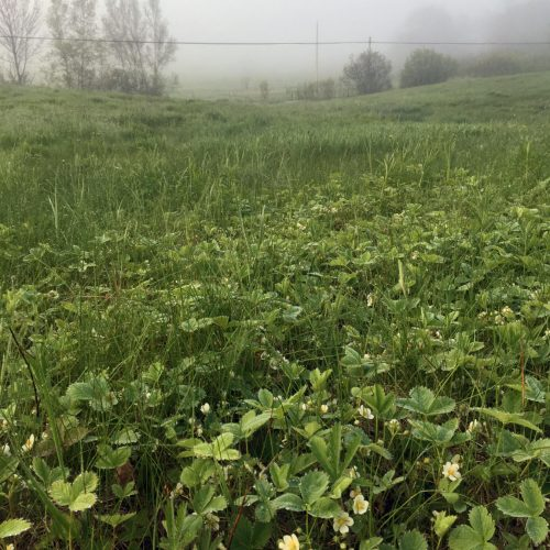 Wild strawberries in a verdant field, early spring