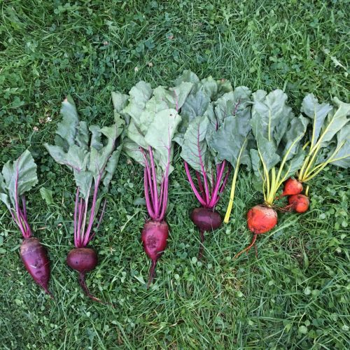 Rainbow of colourful beets laid out on grass