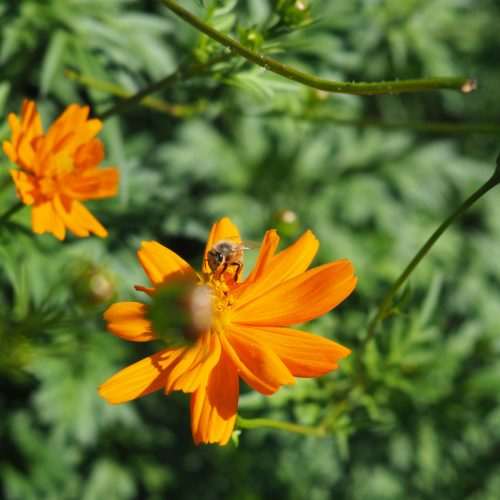 Bee at orange cosmos flower
