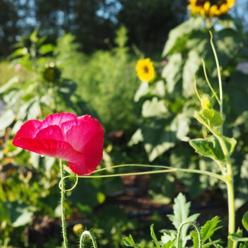 Pink poppy and squash tendrils