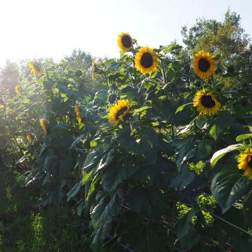 Sunflowers and afternoon sunlight