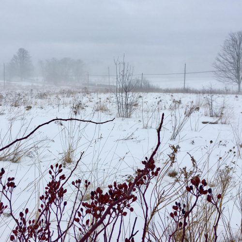Winter berries and snow covered fields