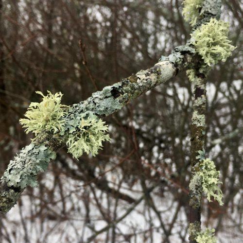 Lichens on birch branches in winter