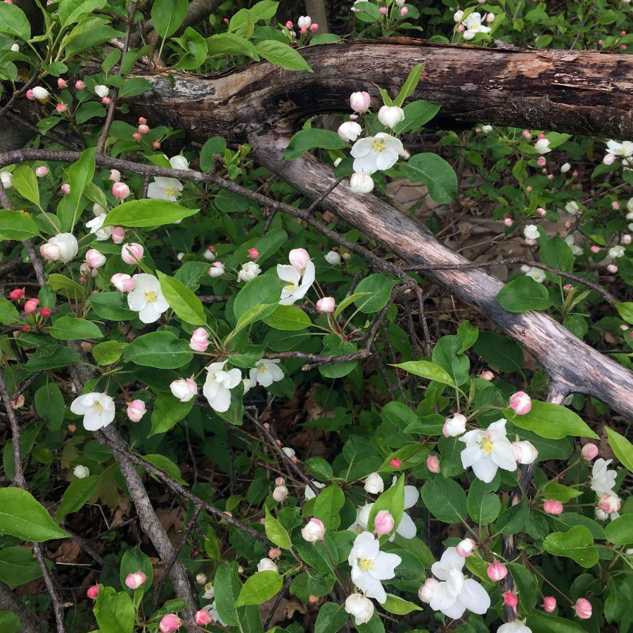 Apple blossoms flowering amongst old wood