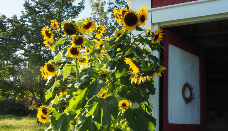 Tall Hopi sunflowers by the barn