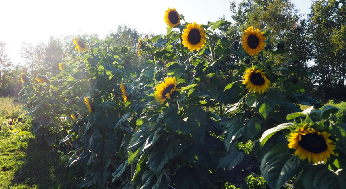 Hopi sunflowers in the late afternoon sun