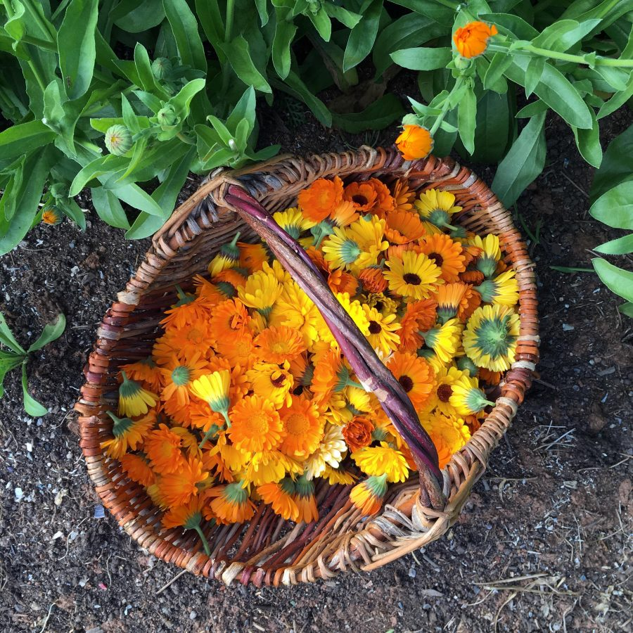 A harvest basket of calendula flowers