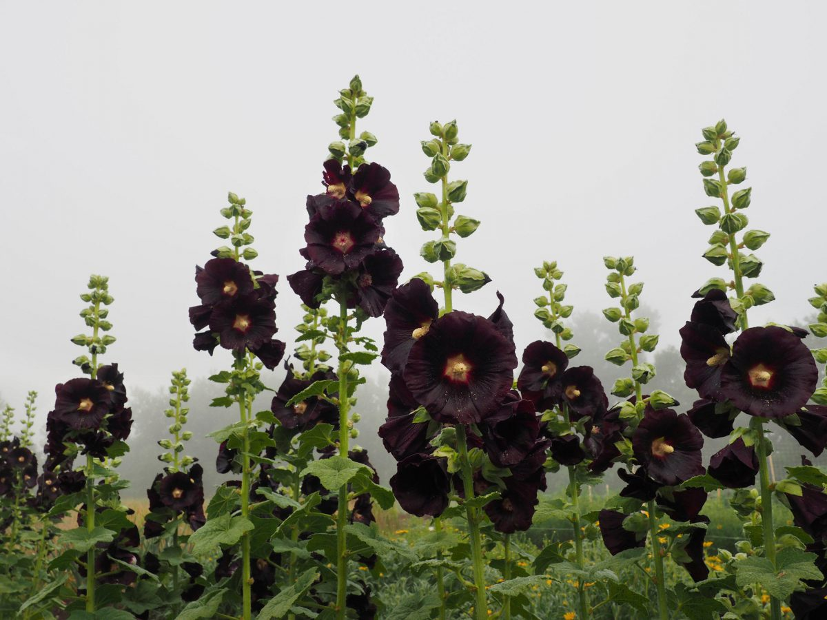 Soaring Black Hollyhock flowers ready for harvest