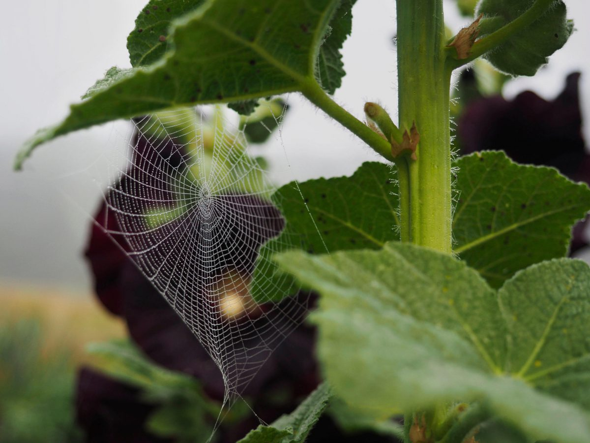 A spider's web beneath the Black Hollyhock leaves