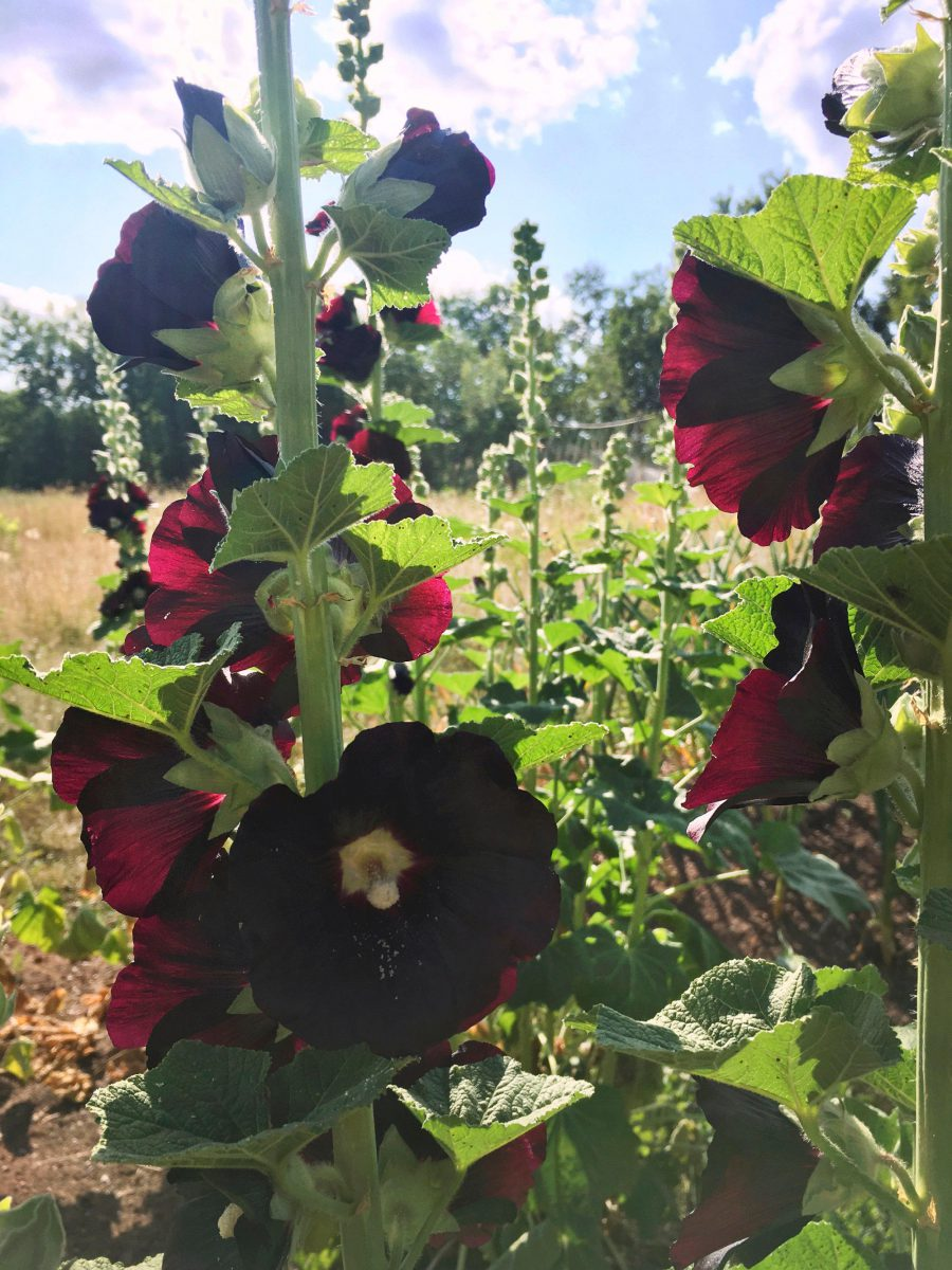 Black Hollyhock illuminated by late afternoon sun