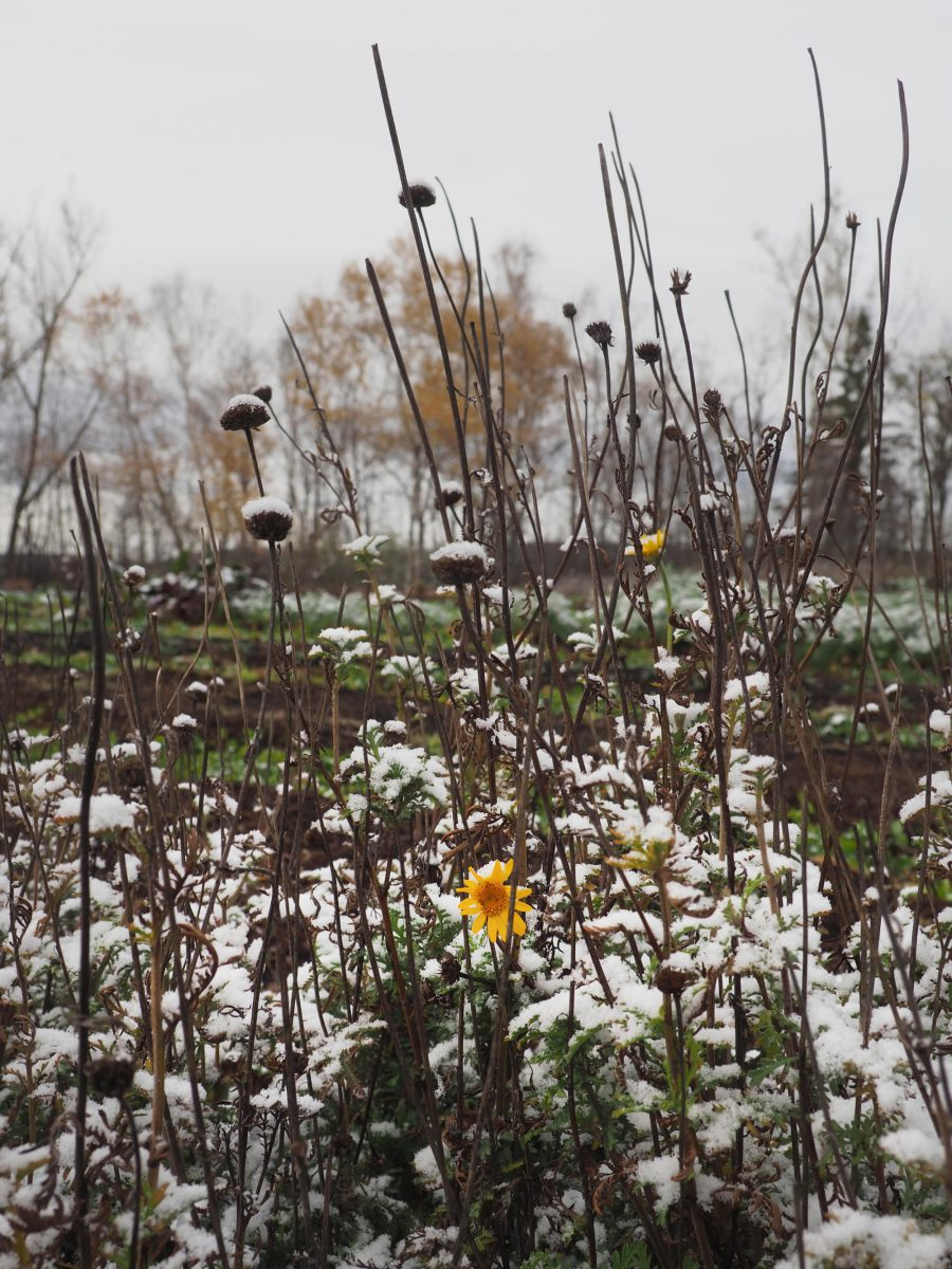 Dyer's Chamomile plants under the first snow