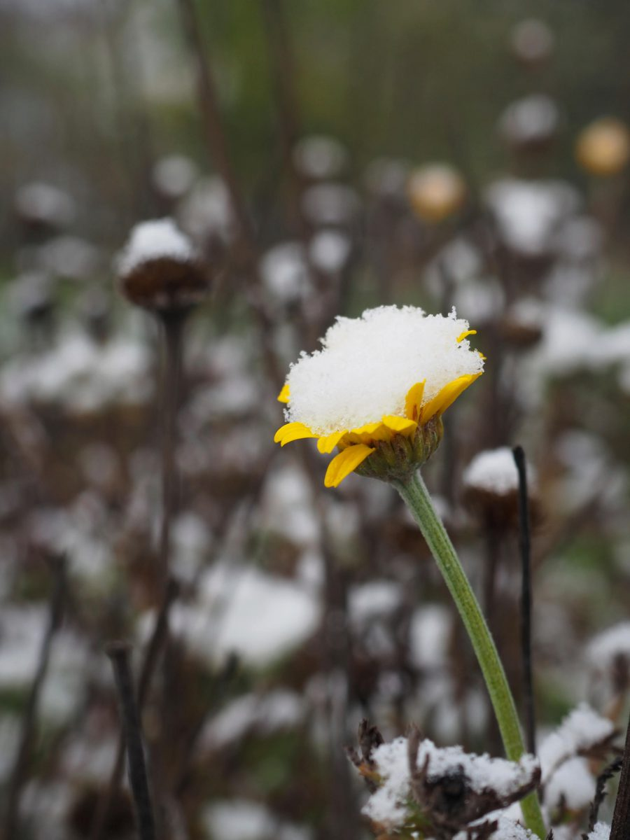 Dyer's Chamomile flower under the first snow
