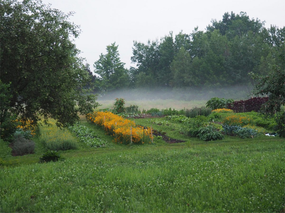 Dyer's Coreopsis growing on the farm with morning mist