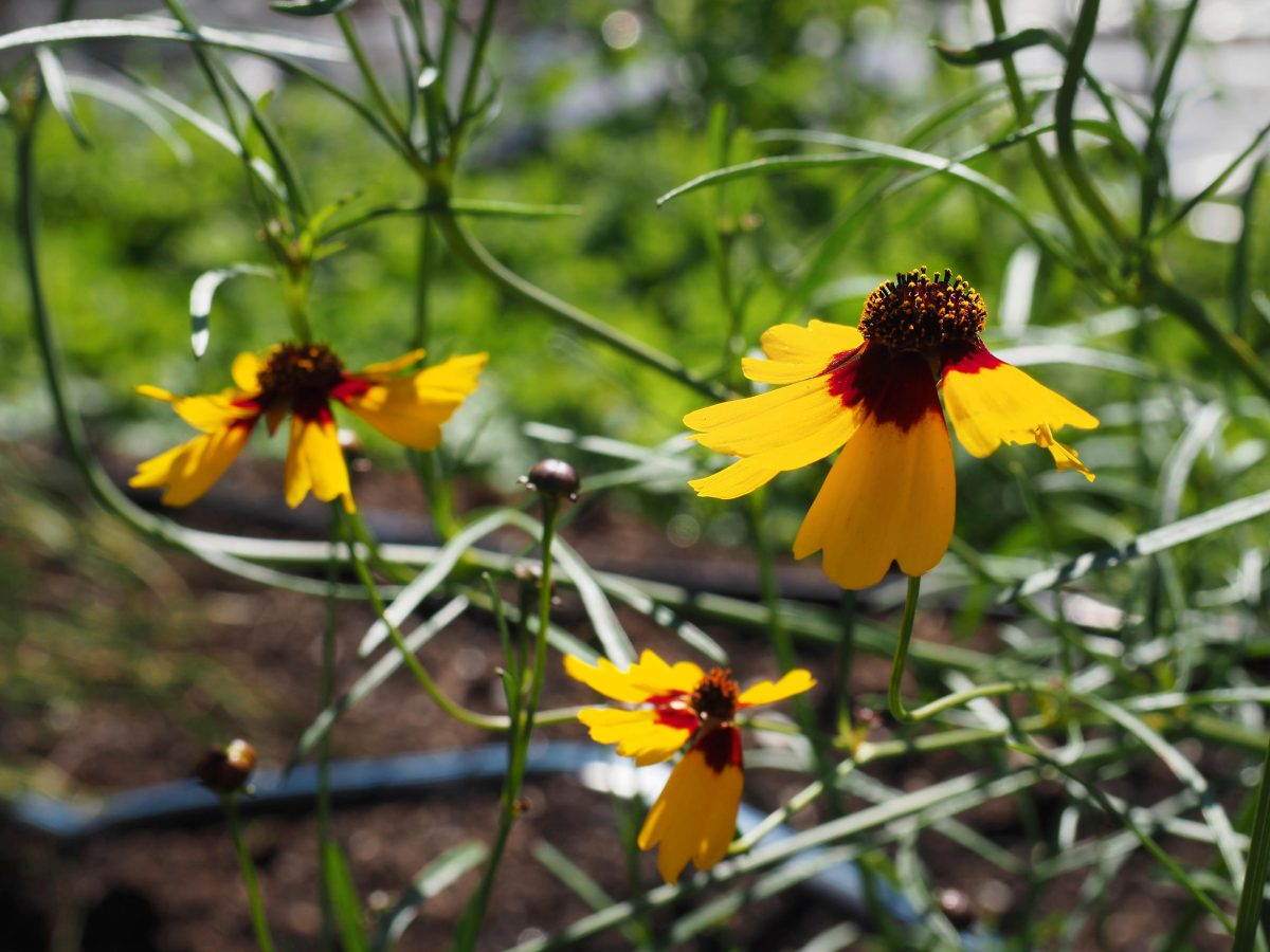 A closeup of Dyer's Coreopsis in flower