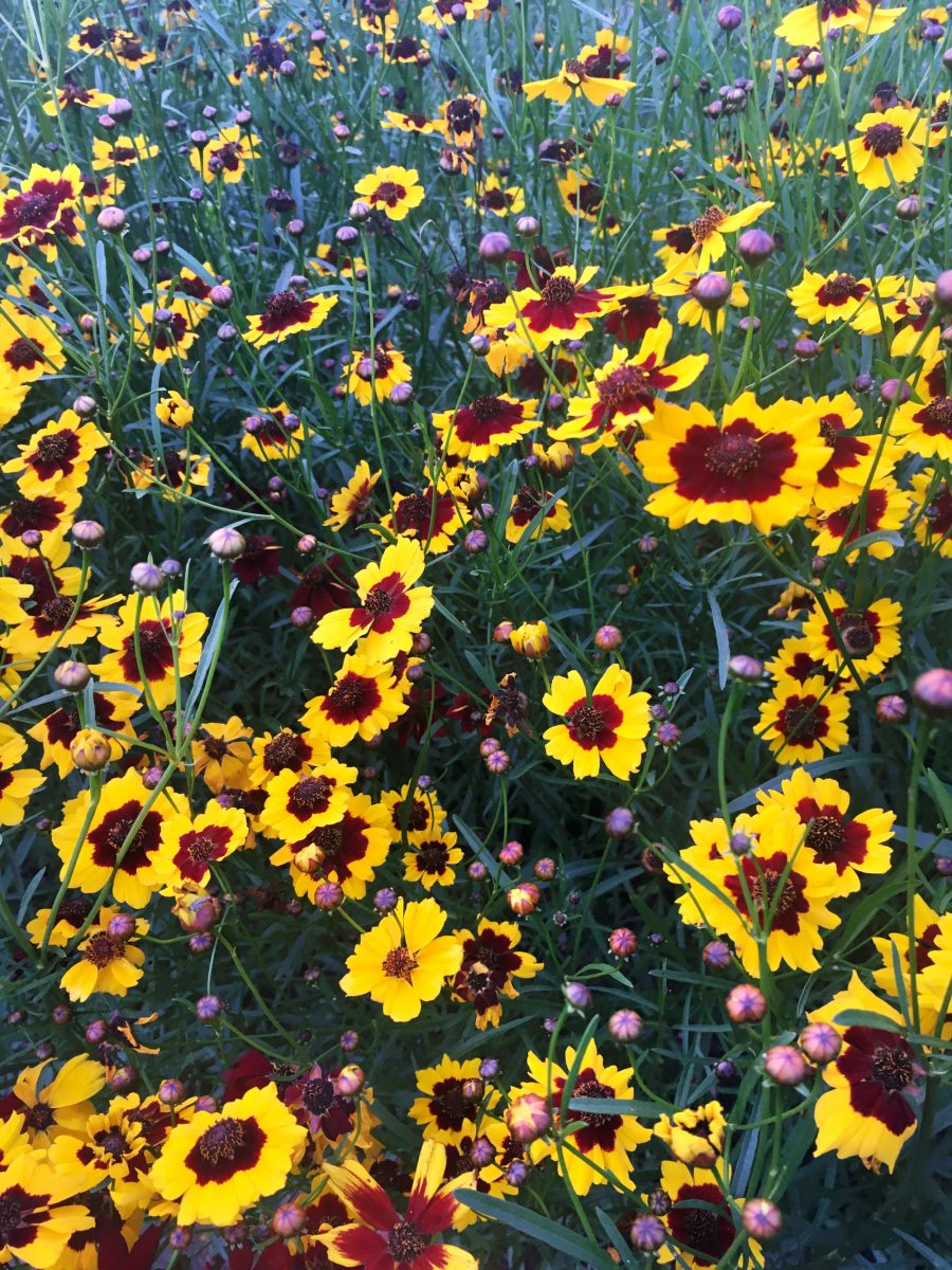 Dyer's Coreopsis flowering on the farm