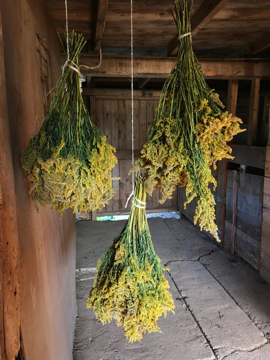 Goldenrod hanging to dry in the barn