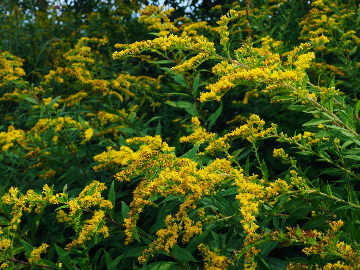 Goldenrod at the height of the season