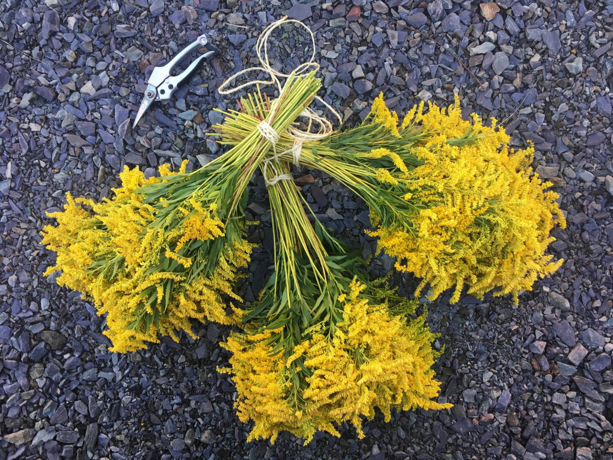 Freshly harvested Goldenrod ready to be hung in the barn to dry