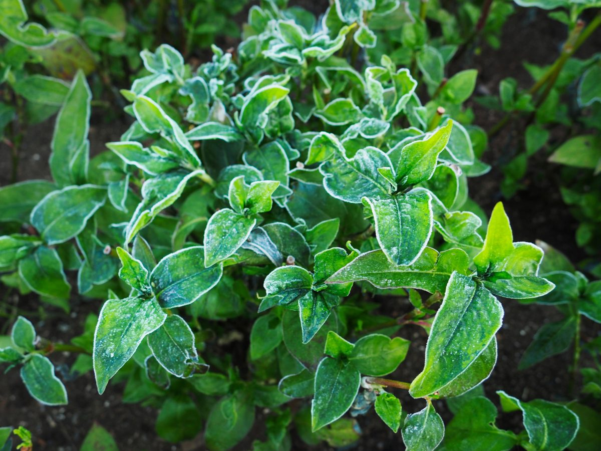 Indigo plant leaves with frost