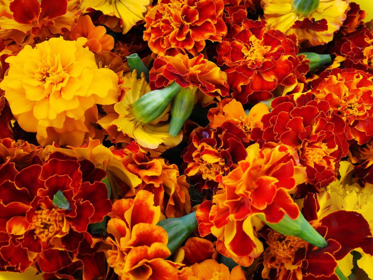 Freshly harvested Marigold flower heads