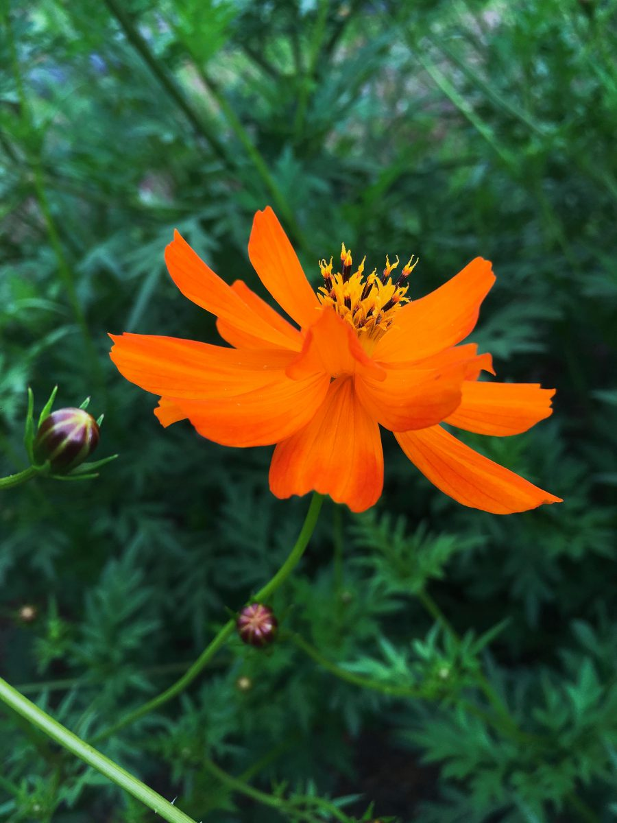 A deep orange cosmos flower