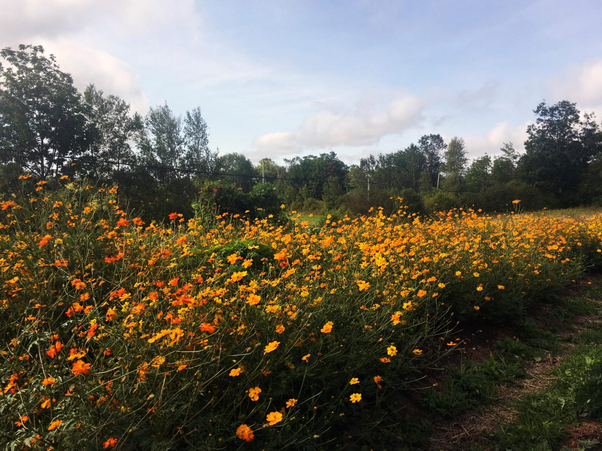 A row of Orange Cosmos growing in the field