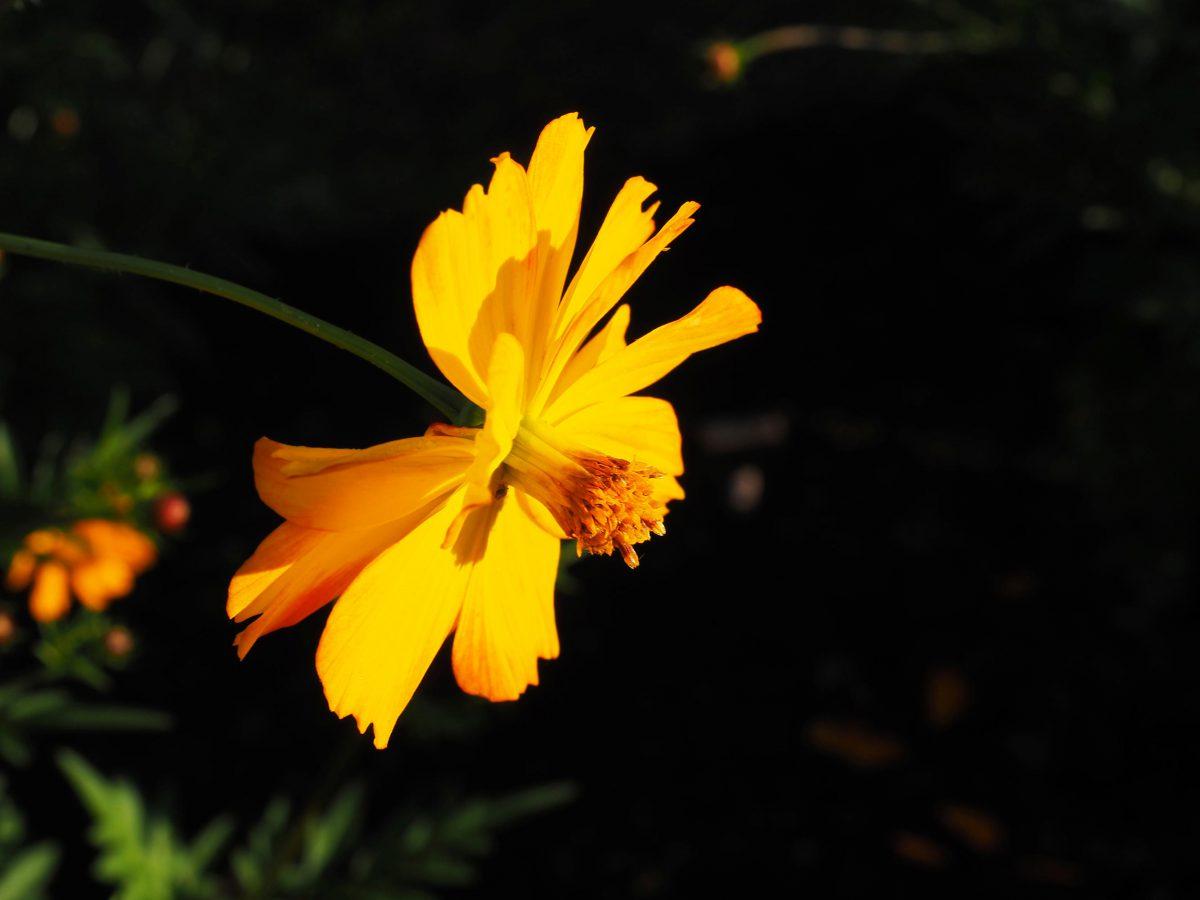 A brilliant yellow variation of orange cosmos