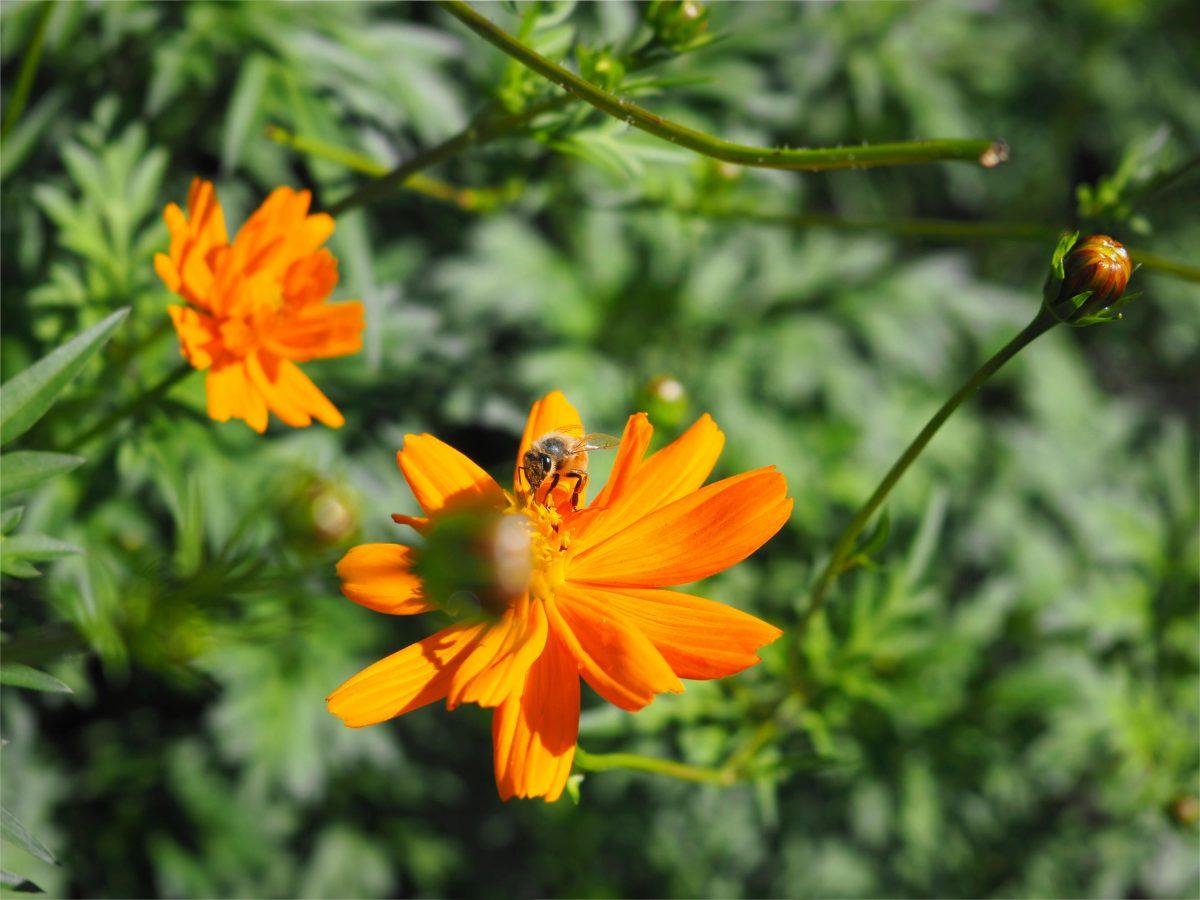 A bee enjoying the orange cosmos flowers