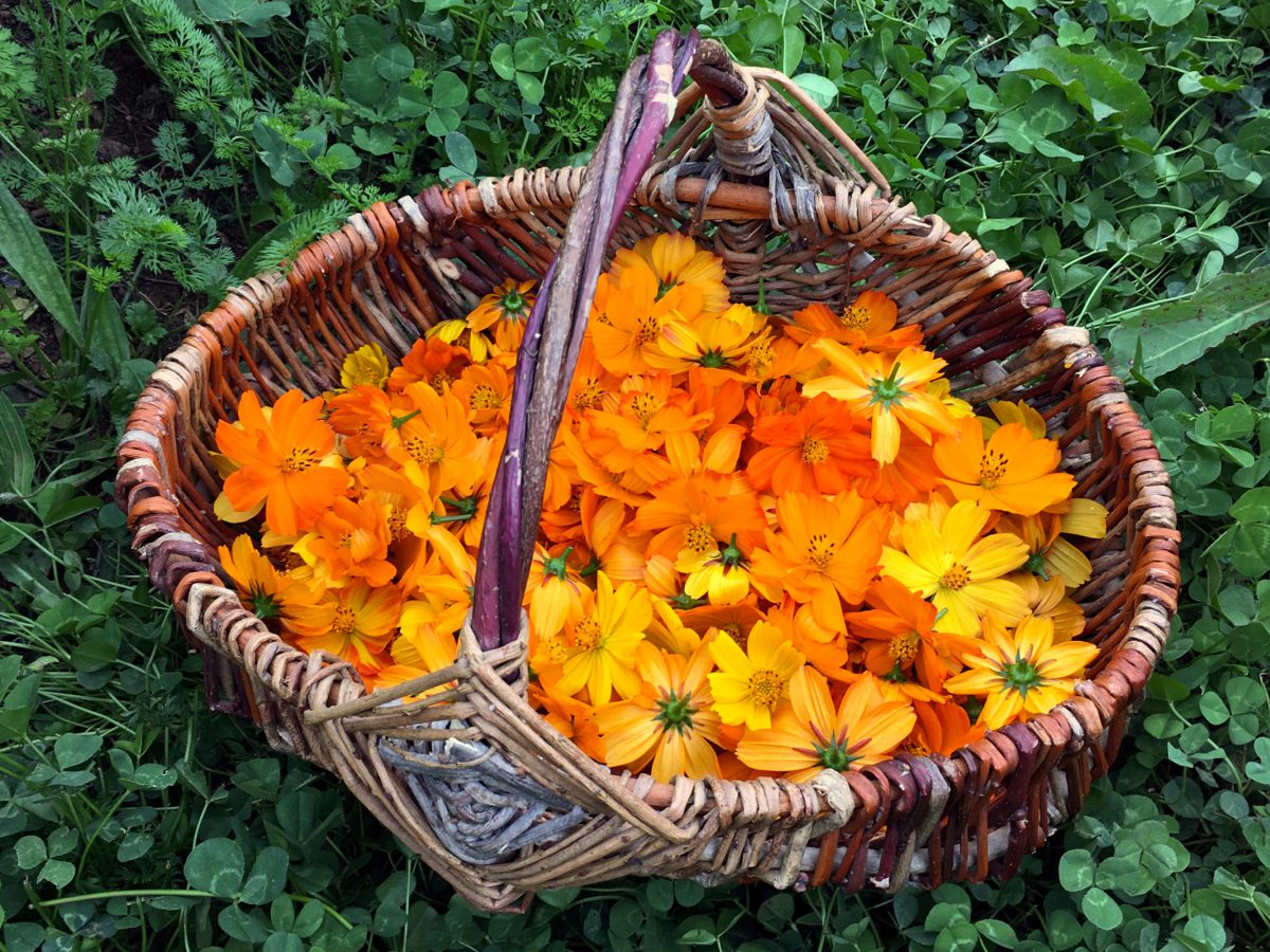 A basket of freshly harvested Orange Cosmos flowers ready to be dried
