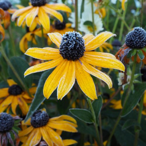 Rudbeckia under the first frost