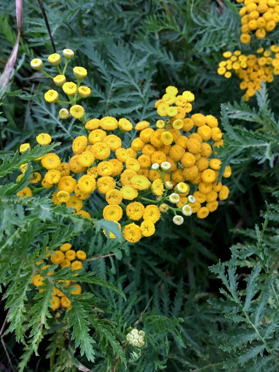 Tansy flower head and leaves