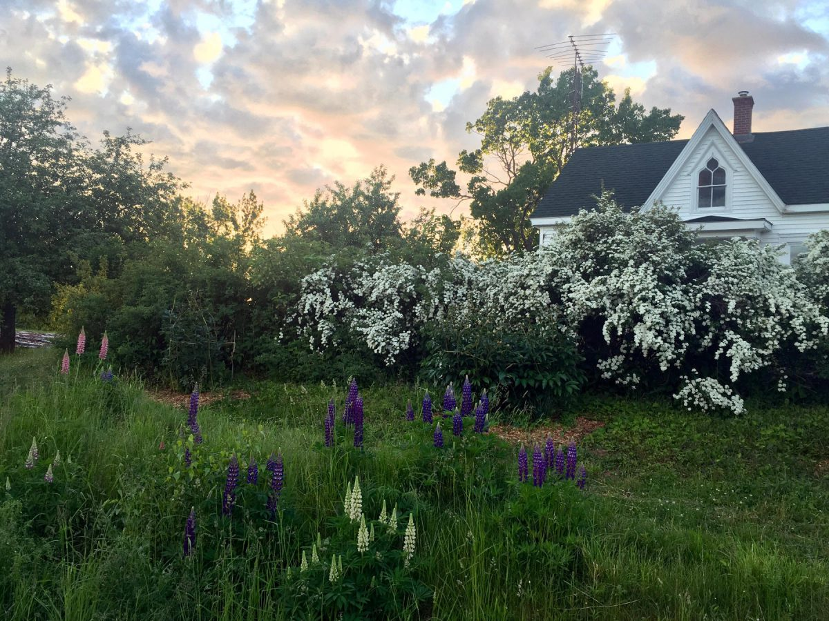 Gothic revival farmhouse with white flowering spirea bushes and pink, purple, and white lupins