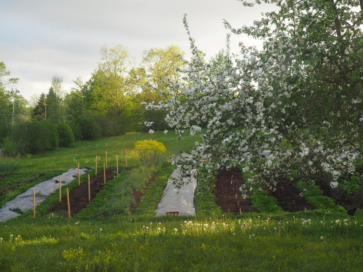 Apple blossoms, farm rows ready for planting, late afternoon light