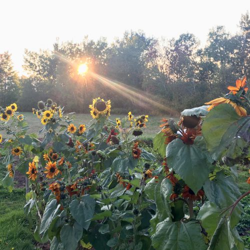 Late afternoon rays hitting the last of the sunflowers in fall