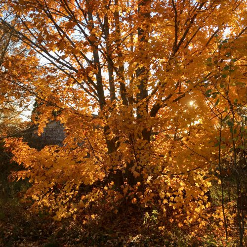 Yellow maple backlit by sun