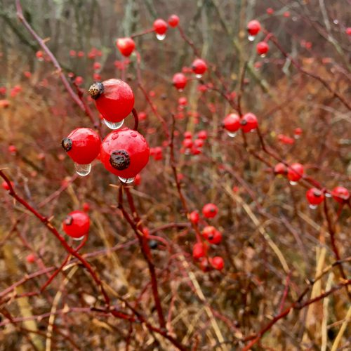 Raindrops on red rose hips