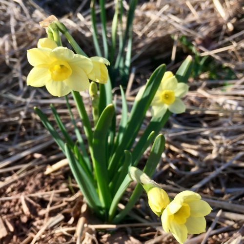 Early spring daffodils in pale yellow