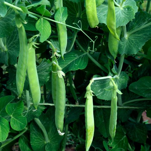 Early spring peas on the vine