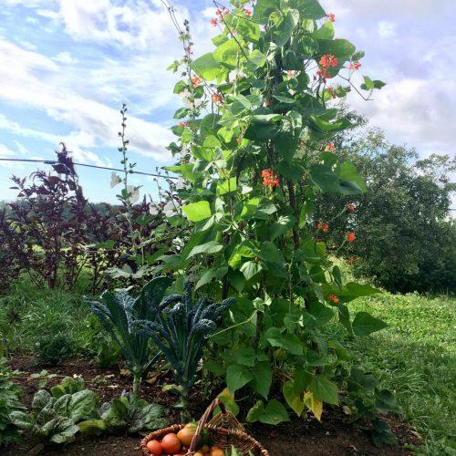 Wigwam of scarlet runner beans, basket of fresh vegetable harvest