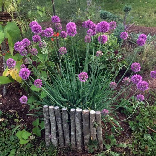Chives by a low handmade twig fence