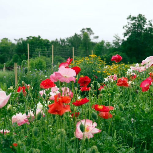 Pink and red Shirley poppies in the field