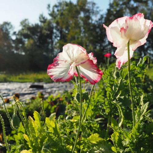 White and pink poppies